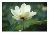 Lotus Lily Posters
