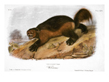 Wolverine Posters by John James Audubon