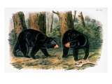 American Black Bear, 1844 Giclee Print by John James Audubon