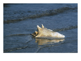 Conch Shell Giclee Print