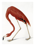 Audubon: American Flamingo Posters by John James Audubon