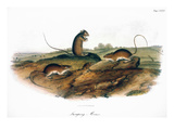Jumping Mouse, 1846 Prints by John James Audubon