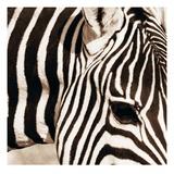 Zebra Pattern Posters by Frank & Susann Parker