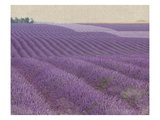 Lavender on Linen 1 Poster by Bret Staehling