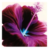 Red Hibiscus Reproduction procédé giclée par Christine Caldwell