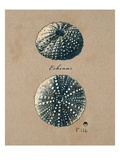 Vintage Linen Sea Urchin Giclee Print by Regina-Andrew Design 