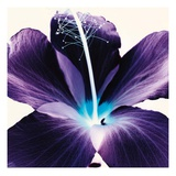 Plum Hibiscus Prints by Christine Caldwell