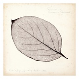 Persimmon Leaf Prints by Booker Morey