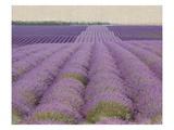 Lavender on Linen 2 Premium Giclee Print by Bret Staehling