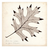Black Oak Leaf Poster by Booker Morey