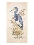 Tricolor Heron Poster von Chad Barrett