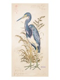 Tricolor Heron Giclee Print by Chad Barrett