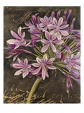 Scripted Agapanthus Poster von Chad Barrett