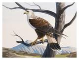 Rough-Legged Hawk Print by Keith Freeman