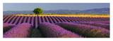Rows of Lavender Art by Bryan Peterson