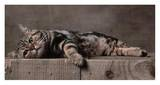 American Shorthair Brown Patched Tabby Cat Posters by Yann Arthus-Bertrand