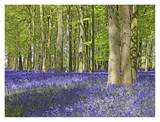 Bluebell wood in dappled sunshine Art