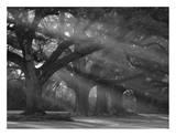 Sunlight Coming Through Oak Trees Plakaty autor Philip Gould