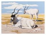 Addax Print by Keith Freeman