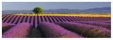 Rows of Lavender Lámina por Bryan Peterson