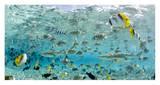 Blacktip Sharks and Tropical Fish in Bora-Bora Lagoon Affiche par Michele Westmorland