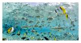 Blacktip Sharks and Tropical Fish in Bora-Bora Lagoon Print by Michele Westmorland