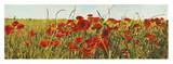 Poppy Field Posters by Luca Villa