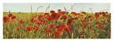 Poppy Field Poster di Luca Villa