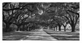 Live Oaks Along Road Kunstdruck von William Manning