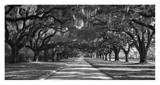 Live Oaks Along Road Prints by William Manning