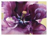 Purple tulip close-up Prints by Luca Villa