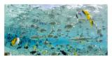 Blacktip Sharks and Tropical Fish in Bora-Bora Lagoon Posters by Michele Westmorland