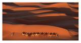 Camels Crossing Amber Dunes, Mauritania Posters af Yann Arthus-Bertrand