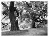 Spanish Moss Hanging from Oak Trees Print by Cathrine Wessel
