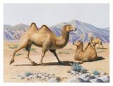 Wild Bactrian Camel Art by Keith Freeman