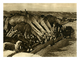Camels Drinking in Bethlehem Giclee Print