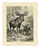 Vintage Moose Prints by Friedrich Specht