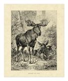 Vintage Moose Giclee Print by Friedrich Specht