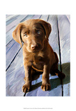 Chocolate Lab Gus Posters af Robert Mcclintock
