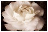 Elegant Ranunculus II Print by Christine Zalewski