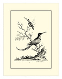 Greater and Lesser Hummingbird, c.1742 Giclee Print by George Edwards
