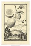 Crackled Cucumber Lemon Prints by Johann Christof Volckamer