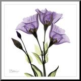 Gentiana i lila Monterat tryck av Albert Koetsier