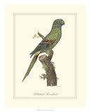 Solstitial Parrakeet Giclee Print by George Edwards