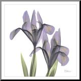 A Gift of Flowers in Purple Aufgezogener Druck von Albert Koetsier