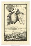 Crackled Lemon of Scorza Posters by Johann Christof Volckamer