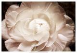 Elegant Ranunculus I Prints by Christine Zalewski