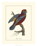 Raja Lory Giclee Print by George Edwards