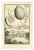 Cracked Lemon of Cedrato Kunstdrucke von Johann Christof Volckamer