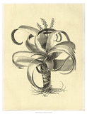 Crackled Besler Aloe Print by Besler Basilius